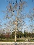 The tree of Haile Selassie